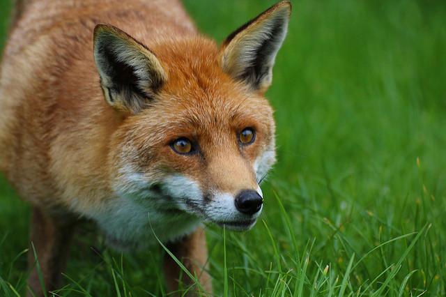 Red fox фото 34071 фотография